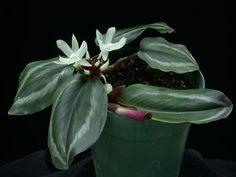 Scaphochlamys biloba Glass Pavilion, Conservatory, Botany, Plants, Image, Sun Room, Planters, Greenhouses, Plant