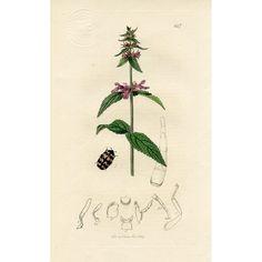 Antique Beetle Print, 1829 @rubylanecom #rubylane
