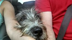 9 months old... he's feeling lonely in the back seat of the jeep! Irish wolfhound