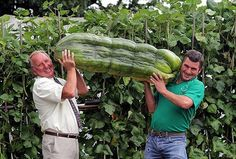 "Yeah, these ""babes"" to feed an entire family in a year of famine. Huge pumpkin, zucchini, mushrooms and cucumbers continue to surprise even ..."