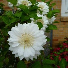 Climbing Clematis, Buy Christmas Tree, Garden Cafe, Chelsea Flower Show, Lighting Online, Trees To Plant, Garden Furniture, Seeds, Great Gifts