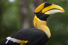The Sulu Hornbill (Anthracoceros montani) is a Critically Endangered species of bird native to the rainforests of the Philippines. This species is on the verge of extinction, with only about 40 individuals left in the wild, threatened by massive habitat destruction.