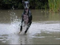 Galgo Espanol Othelo - one of the most joy-filled videos I've seen!  :-D