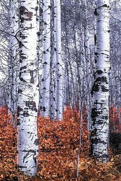 68 Ideas Birch Tree Photos Plants For 2019 Landscape Quilts, Landscape Art, Tree Drawing Simple, Birch Tree Art, Tree Artwork, Simple Acrylic Paintings, Aspen Trees, Watercolor Trees, Photo Tree