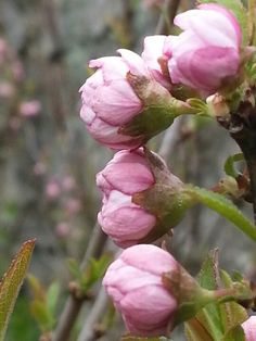 Tiny buds on Flowering Almond