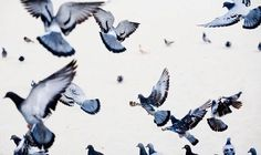FLYING PIGEONS - Google Search