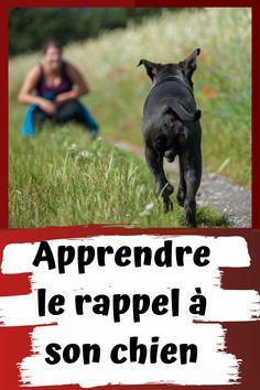 Qui n'a jamais voulu rappeler son chien face à une situation dangereuse ? Le rappel permet de garder son chien en toute sécurité. Rencontre avec un congénère dangereux ou votre chien pris de panique traverse la route. Il y a 1001 raisons de vouloir apprendre le rappel à son fidèle compagnon. La seule raison qui vous pousse à apprendre rappel et justifiable. Apprenez à rappeler votre fidèle compagnon maintenant. Border Collie, Dog Training, Chihuahua, Pepper, Dogs, Movie Posters, French Bulldog Puppies, Bulldog Puppies, Cat Breeds