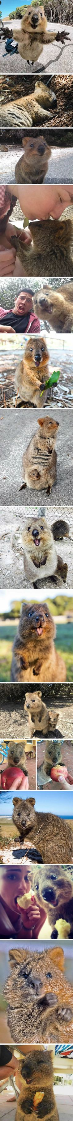 Quokka , happiest animal I've ever seen . (not mine) . Browse new photos about Quokka , happiest animal I've ever seen . (not mine) . Most Awesome Funny Photos Everyday! Because it's fun! Cute Animal Memes, Animal Jokes, Cute Animal Pictures, Cute Funny Animals, Cute Dogs, Cute Babies, Happy Animals, Animals And Pets, Quokka