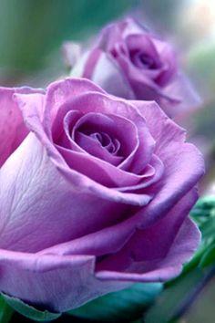 purple rose~