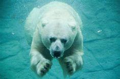 POLAR BEAR SWIMMING Bar, Wildlife, Polar Bears, Swimming, Swim, Polar Bear