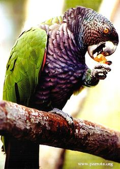 Imperial Amazon or Imperial Parrot or Dominicon Amazon or August Amazon or Sisserou is national bird of Carrabian Nation Dominica. This beautiful and multi-colored parrot can only be found in Dominica and they are under a threat of its extinction. Currently their total population is only about 250 Birds.