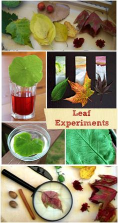 Easy Fall science experiments & STEM activities using leaves! Autumn activities for preschool, kindergarten and elementary age kids! Fun ways to learn about seasonal changes, the parts of a leaf, why leaves change colors and more science ideas! Kindergarten Science Experiments, Preschool Science, Science Experiments Kids, Science For Kids, Science Projects, Science Nature, Plant Science, Science Biology, Science Lessons
