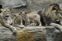 Una familia de leones conformada por los cachorros Terry y Basty junto a sus padres Lilly y Simon son fotografiados por primera vez en Olomo...
