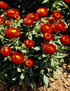 161 best strawflowers images on pinterest in 2018 beautiful find this pin and more on strawflowers by beckey douglas mightylinksfo