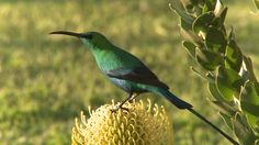 154715346-red-tufted-sunbird-south-africa-blossom-observing.jpg 960×540 pixels