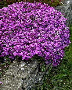 Sammalleimu Purple Beauty - Viherpeukalot Plants, Purple, Garden, Tree, Rosa, Purple Garden, Secret Garden, Dream Garden, Nature