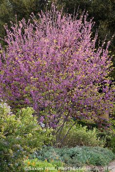 Flowering Western Redbud tree (Cercis occidentalis) in mixed border with Ceanothus shrub in Southern California, drought tolerant native plant garden