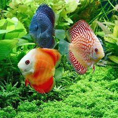fotos peces tropicales - Buscar con Google