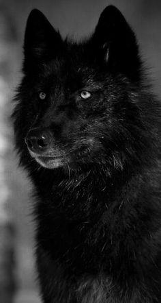 1000+ images about Wolf on Pinterest | Black Wolves ...