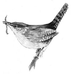 """The Outside Story: """"House Wren Eviction,"""" by Carolyn Lorié. Illustration by Adelaide Tyrol. """"One afternoon in early June, a small brown bird swooped down in front of our kitchen window. I wondered where it had swooped from when, a minute later, I saw it fly back up, with a sliver of straw in its beak…"""""""