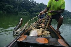 Fishermen pull up a crocodile which was caught in their net as they fished for arapaima in the Western Amazon.