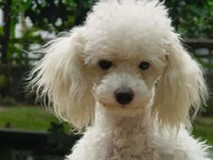 White Poodle dog looking cute