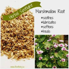 OliveBaby.ca Marshmallow Root, How To Dry Basil, Herbalism, Healing, Herbs, Pure Products, Baby, Herbal Medicine, Herb