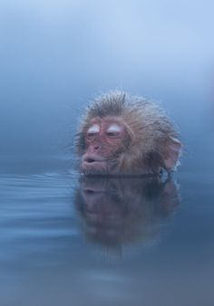 "accio-forest: "" Infant Snow Monkeys Enjoys Hot Spring by Ben Torode "" Rare Animals, Animals And Pets, Funny Animals, Adorable Animals, Mon Zoo, Monkey See Monkey Do, Monkey Pictures, Weird Creatures, Wild Nature"