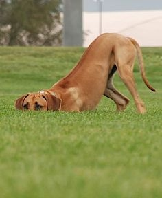 Downward Dog comes naturally to these red hounds!