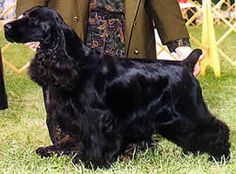 Black Cocker Spaniel Dog, Dogs, Pictures, Photos, Pics, Images, Gallery, Breed, Puppies, Rescue,  Information and Facts, Characteristics, Mix, Qualities, Jewelry