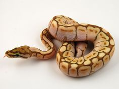 Ghost Butter Spider Ball Python