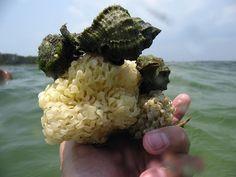 Apple Murexes (Phyllonotus pomum) Laying Eggs Dunes,   Port St Joe, FL