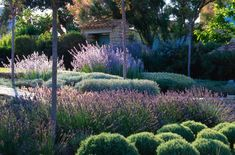 Garden in Provence with Lavenders, Teucriums, Santolina and Perovskia
