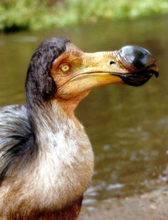 "(Replica created by Bill Munns)   The dodo has been the proverbial bird that was always destined for doom. And when humans first arrived on the island of Mauritius, home of the dodo, ""Dodo never had a chance"". Dodos went extinct in the mid-to-late 17th century and their disappearance is directly attributable to human activity."