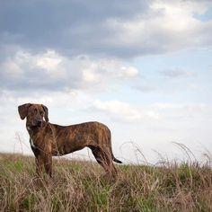 Plott Hound. Gorgeous dogs