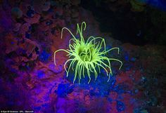 Cylinder water lily pictured at a depth of 49 feet - glowing fluorescent yellow under neon light