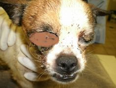 Chihuahua abandoned for two weeks in crate with no food or water, now blind in one eye