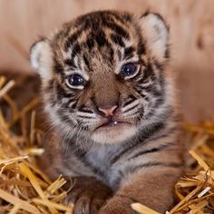 Ideas Baby Cute Animals Tiger Cubs For 2019 Save The Tiger, Tiger Love, Big Cats, Cool Cats, Beautiful Cats, Animals Beautiful, Cute Baby Animals, Animals And Pets, Wild Animals