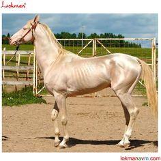 Malkas Little Eagle Wings - Albino Akhal- Teke Kathiyawadi Horse, Horse Girl, Horse Love, Perlino Horse, Akhal Teke Horses, All The Pretty Horses, Beautiful Horses, Albino Horse, Rare Horse Breeds