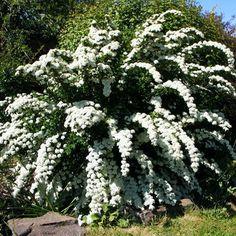 Декоративный цветущий кустарник спирея: фото и описание видов, посадка и уход