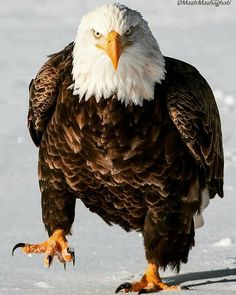 Birds of prey. All Birds, Birds Of Prey, Beautiful Birds, Animals Beautiful, Our National Bird, Bold Eagle, Animals And Pets, Cute Animals, Eagle Wallpaper
