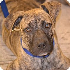 Albemarle, NC - American Pit Bull Terrier Mix. Meet Memphis, a puppy for adoption. http://www.adoptapet.com/pet/13822040-albemarle-north-carolina-american-pit-bull-terrier-mix