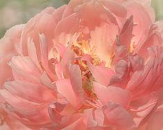Pastel Pink Peony Soft Dream Nursery Decor by ShadetreePhotography, $51.00 #etsy