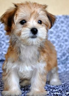 Morkie: Maltese and Yorkie. Hes so pretty :D