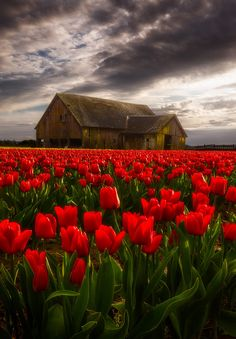 "Spring Arrives, by "" Rain and wind move in over the Skagit Valley in Washington. Enough late afternoon sun to backlight the tulips. Spring is finally here. Beautiful Farm, Beautiful World, Beautiful Flowers, Beautiful Places, Beautiful Pictures, Beautiful Scenery, Amazing Pics, Awesome, Spring Photography"