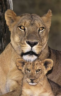 African Lions Parenthood Wildlife RescueDave Welling