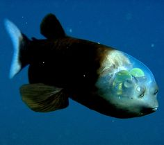 A transparent headed Pacific barreleye (Macropinna microstoma). The 6-inch barreleye had been known since 1939 but only from mangled specimens dragged to the surface. The beady bits on the front of the fish aren't eyes but smell organs. The grayish, barrel-like eyes are beneath the green domes, which may filter light. The eyes are upright tubes, but scientists discovered that the eyes can pivot. The barreleye lives more than 2,000 feet beneath the ocean's surface, where the water is almost…