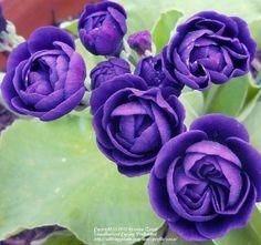 Photo of Primrose (Primula auricula 'Fred Booley') uploaded by zuzu