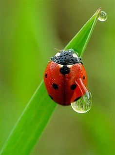 Lady Lady-Bug where have you beeen.Lady-Bug Lady-Bug what have yah seen. Fotografia Macro, Macro Fotografie, Dew Drops, Rain Drops, A Bug's Life, All Nature, Amazing Nature, Water Droplets, Tier Fotos