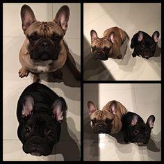 Paco&Maniek French Bulldogs